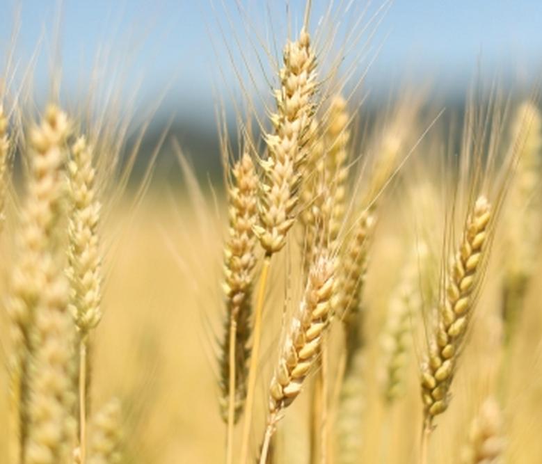 """土库曼斯坦农业改革惠农政策齐出台 全民欢庆""""小麦节"""""""