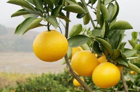 福建地区适合种植什么水果?
