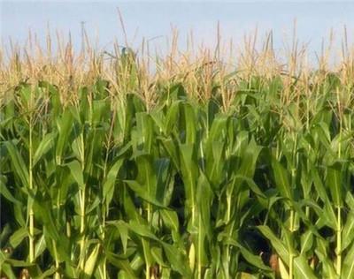 """山西朔州""""粮改饲"""":玉米的供给侧改革"""