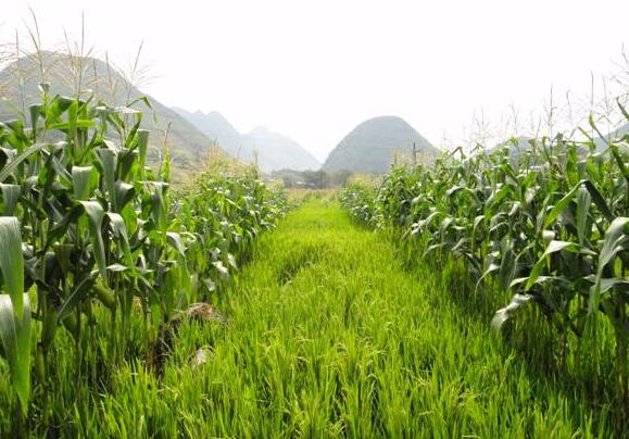 红薯地套种玉米有什么优势?