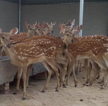 吉林地区的地形地貌适合养殖猪、牛、羊、鸡、梅花鹿吗?