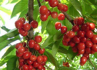 四季如春的昆明哪里可以摘樱桃?