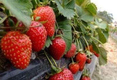 """""""渤海明珠""""天津哪里可以摘草莓?天津九大摘草莓圣地"""