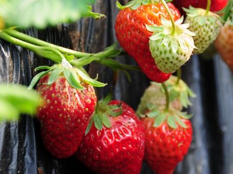 南昌市周末可以去哪摘草莓、葡萄?