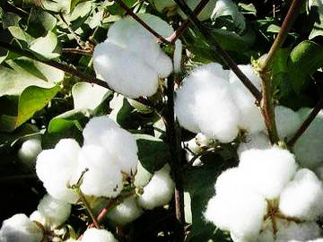 为加快棉花产业成功升级,中国棉花生产发展研讨会在新疆举行