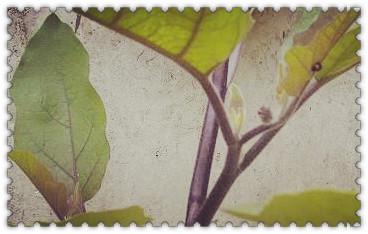 茄子叶子为什么会发黄 防治方法有哪些