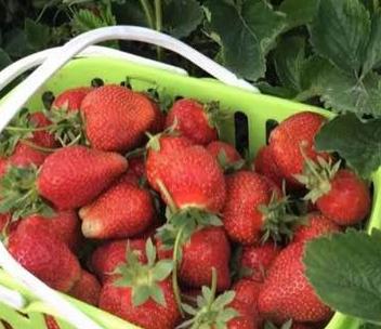 """""""塞上江南""""的银川哪里可以摘草莓?"""