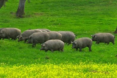 广西:发展养猪产业实施精准扶贫