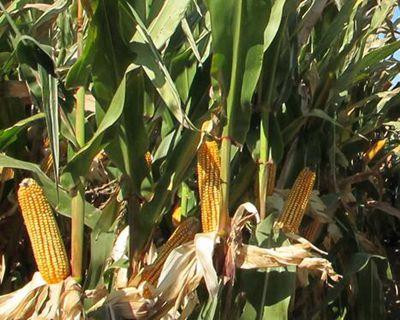 辽宁鞍山下发34393万元玉米生产者补贴资金