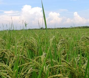 加快土地流转促进农业现代化(江苏五接镇案例)