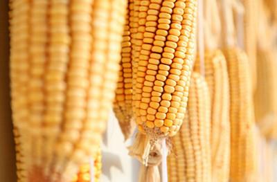 2016年辽宁将对玉米种植户发放补贴 平均每亩地补贴标准多少