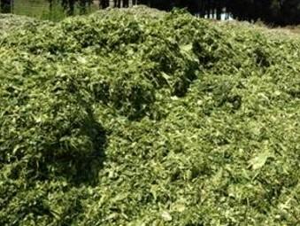 河北定州:养殖场将全部饲喂全株玉米青贮饲料