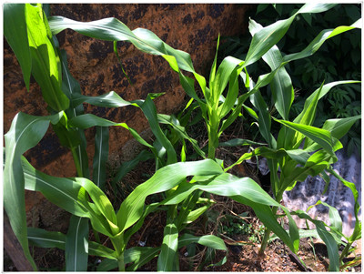 国家为什么要从种粮食改种饲料?