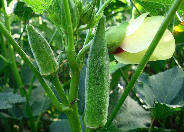秋葵最佳种植与收获时间是什么时候?