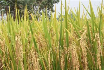 安徽省水稻品种展示会在合肥召开