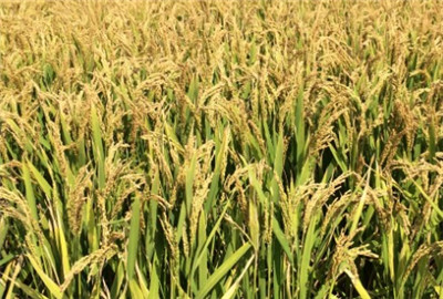 """安徽省利用""""粮食银行""""缓解农民的储粮困难"""