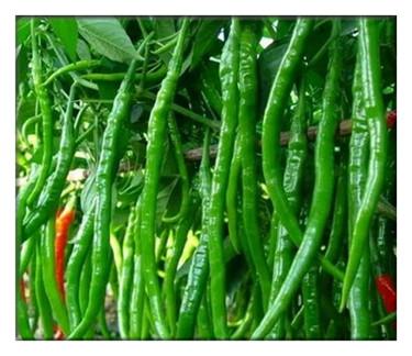 辣椒什么时候种植?如何吃辣椒才能不上火?