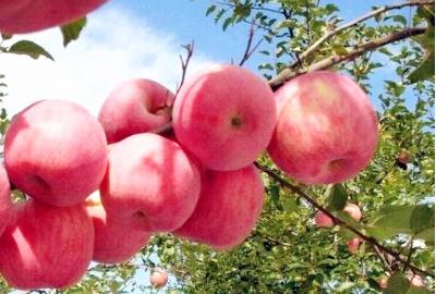 """镇原:苹果变""""金果"""",果农富起来"""