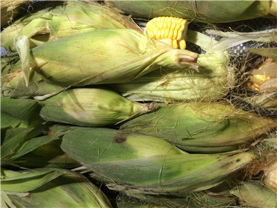 农民玉米销售难  黑龙江启动轮换收购