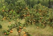 重庆武隆县:大力发展特色林果助推农业转型升级