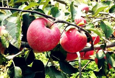 全村种苹果户户都致富