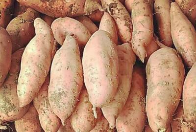 生物技术助力甘薯产业发展壮大