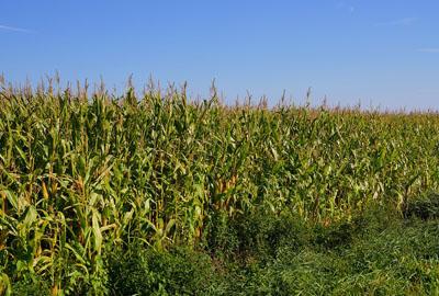"""辽宁铁岭:玉米收储制度改革让农民提早吃上""""定心丸"""""""