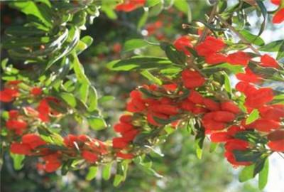 青海省:海西州发展柴达木枸杞产业助推农牧民增收