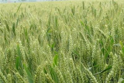 河南省强化小麦冬前管理技术指导