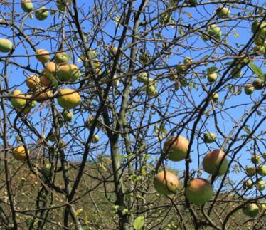 如何种植出优质苹果?地形条件有哪些?如何修剪?