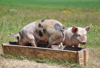 重庆黔江推生猪收益保险赔偿政策 每头可赔偿1400元
