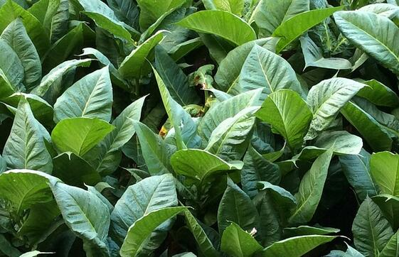 贵州省贵州市修文县投入800万元打造烟草扶贫示范新村