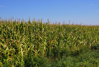 东北各省发放2016玉米补贴  四地区共发放5.3亿补贴