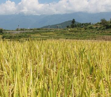 什么是懒人稻?种植懒人稻产量怎么样?