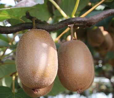 猕猴桃什么时候种最好?什么时候采摘最合适?