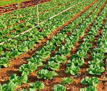 露地越冬蔬菜什么时候种合适?如何安全过冬?