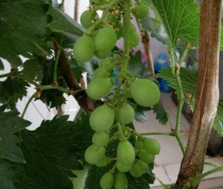 怎么种盆栽葡萄?要用什么土种?越冬要留意什么?