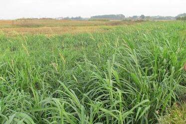 黑麦草种植:黄河灌区种黑麦生态效益好