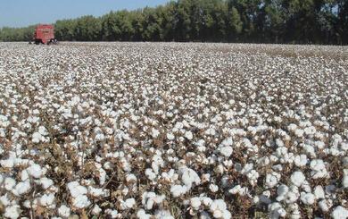 2017年新疆棉花市场价格及发展形势