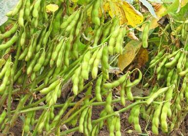 安徽大豆种植收益怎么样?成本增加了吗?