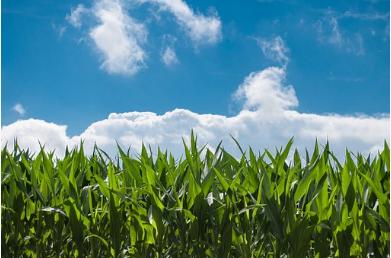 东北玉米收储制度改革调查:玉米怎么收?农民亏不亏?