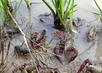 潜江市扶持虾稻产业 打造现代农业稻田养虾模式