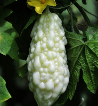 白玉苦瓜产地在哪里?怎么种植?