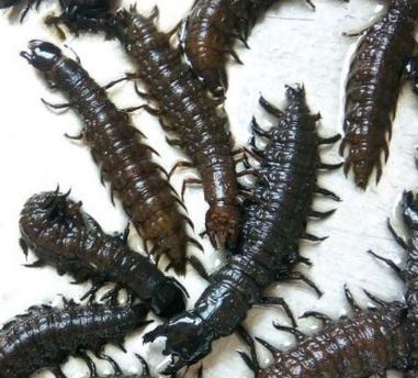 爬沙虫怎么吃?有什么功效?怎么养殖?