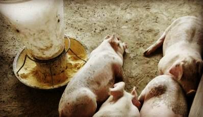 猪的寄生虫病主要有哪些 具体防治技术是什么图片