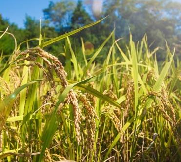 稳定粮食生产的举措(2016年桃源县粮食生产形势分析)