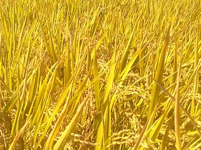 国家粮食局关于在吉林省启动2016年中晚稻最低收购价执行预案的通知