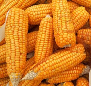 2016年吉林省新粮收购超1000万吨