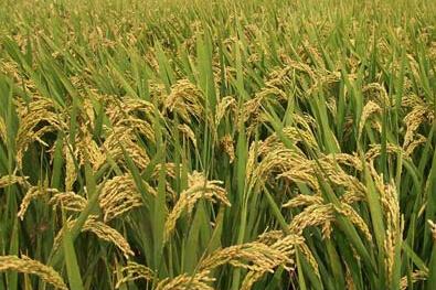 宜春市晚籼稻收益情况及2017年价格走势预测
