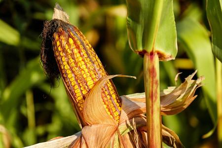 玉米价格持续走低 土地流转带领农民致富